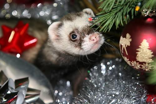 Christmas Ferret.The Christmas Eve Toast And It S Not The Kind You Eat